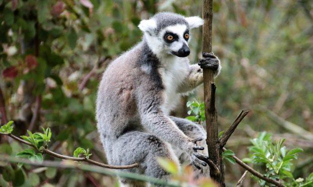 Madagaskar, een must voor de fauna en flora liefhebber!
